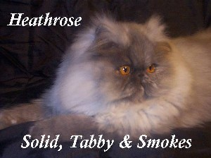 Heathrose Persians and Exotics